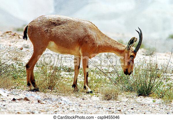 Fotos, Tierwelt,  -, Steinbock - csp9455046