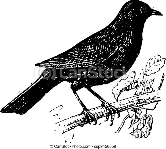 Common Blackbird or Turdus merula, vintage engraving - csp9456559