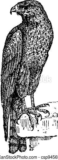 Kite or Milvinae sp. or Elaninae sp., vintage engraving - csp9456562