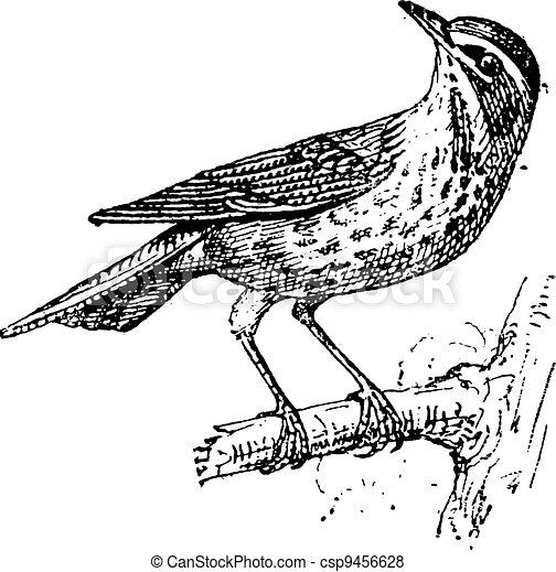 Redwing or Turdus iliacus, vintage engraving - csp9456628