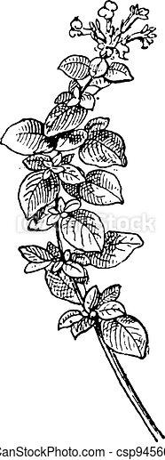 Marjoram or Origanum majorana, vintage engraving - csp9456629