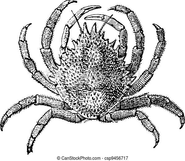 European Spider Crab or Maja squinado, vintage engraving - csp9456717