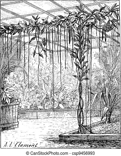 Base of vanilla with adventitious roots, vintage engraving. - csp9456993
