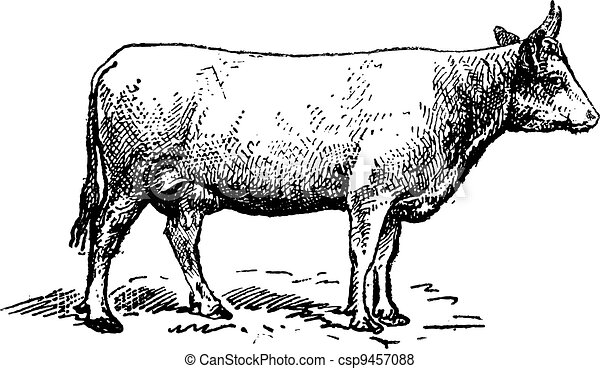 Norman cattle breed, vintage engraving. - csp9457088