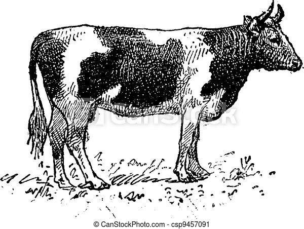 Breton cattle breed, vintage engraving. - csp9457091