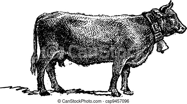 Swiss cattle breed, vintage engraving. - csp9457096