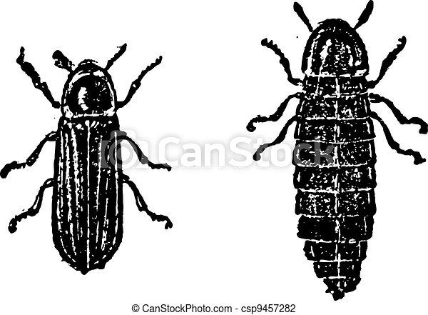 Firefly or Lampyridae, vintage engraving - csp9457282