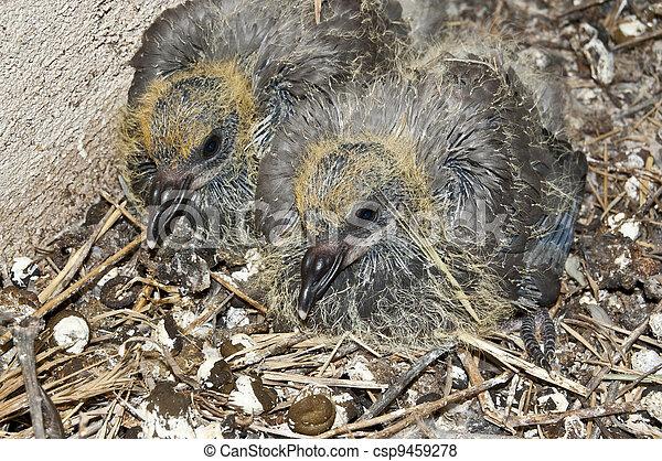 Immagini di pulcini piccione domestico piccione for Piani di fienile domestico