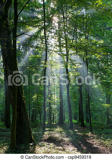 Sunbeam entering rich deciduous forest - csp9459319