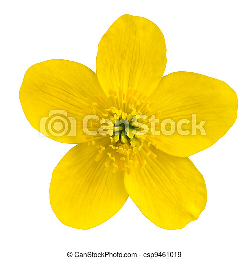 Marsh Marigold Yellow Flower Isolated on White - csp9461019