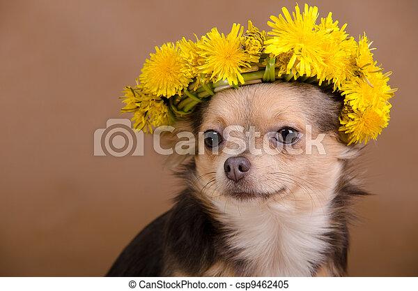 Chihuahua, guirnalda, Dientes de león - csp9462405