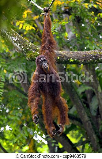 Borneo Orangutan - csp9463579
