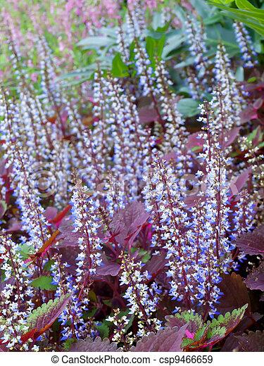 Colorful field of coleus flowers - csp9466659
