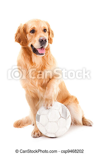 golden retriever dog playing with ball on isolated  white - csp9468202