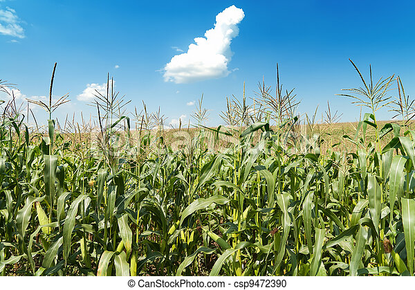 field with maize under blue sky and clouds - csp9472390