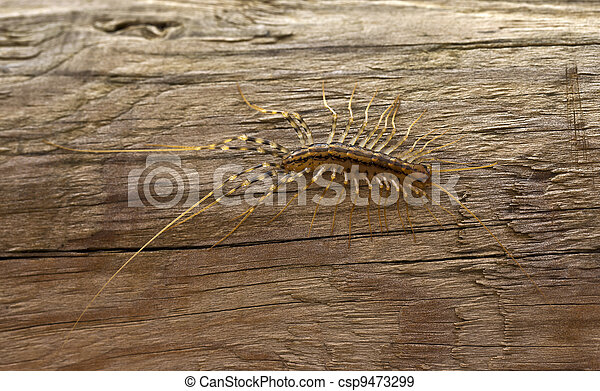 millipedes of the species Scutigera coleoptrata - csp9473299