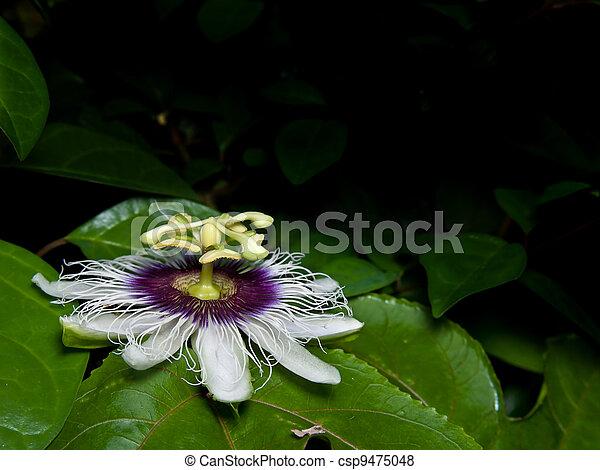 Passiflora edulis - csp9475048