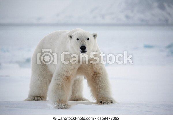 Polar bear, Svalbard National Park - csp9477092