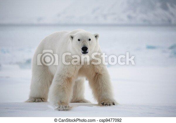 Polar bear, Svalbard National Park - csp9477092
