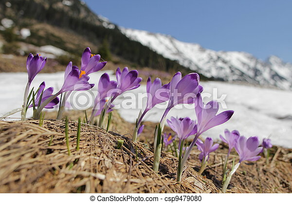 Crocus flowers - mountain meadow - csp9479080