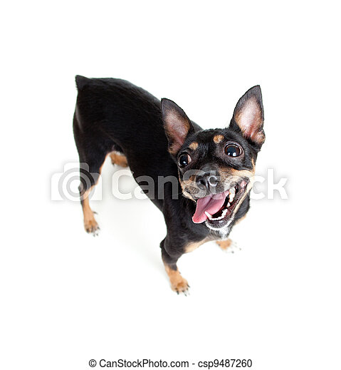 standing toy terrier dog  top view wide angle lens shot - csp9487260