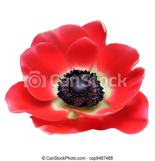 Red flower spring blossom seasonal vector illustration. Anemone isolated on white - csp9487488