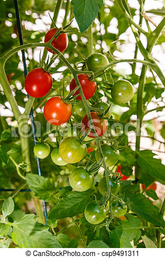 Cherry Tomatoes Growing on the Vine - csp9491311