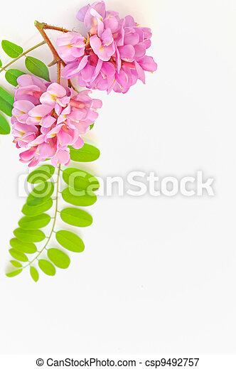 acacia pink flowers- Robinia hispida - csp9492757