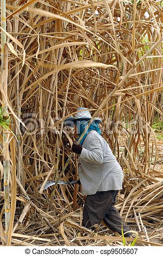 el, plantador, cosechado, caña de azúcar - csp9505607