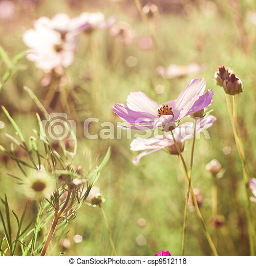pink cosmos flowers - csp9512118