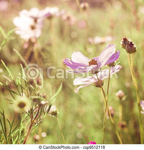 pink cosmos flowers - csp9512118