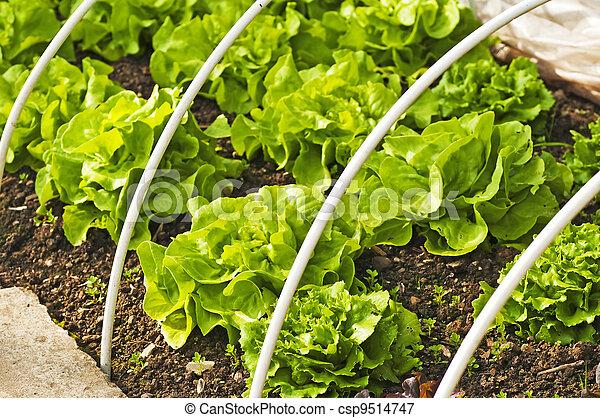 salad cultivation - csp9514747