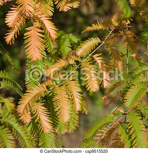 autumn colors in Metasequoia glyptostroboides (Dawn Redwood); critically endangered tree - csp9515520