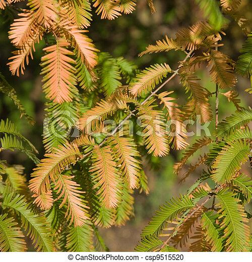 autumn colors in Metasequoia glyptostroboides (Dawn Redwood); critically endangered tree - csp9515520