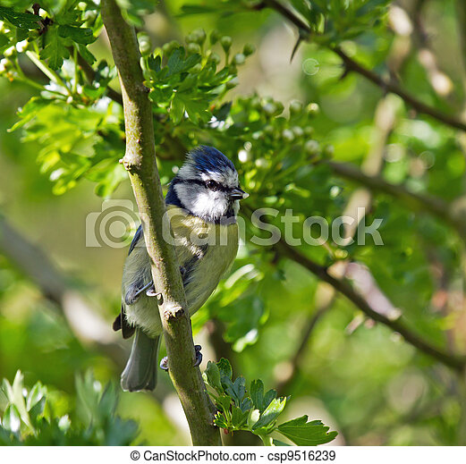 Blue Tit with Food - csp9516239