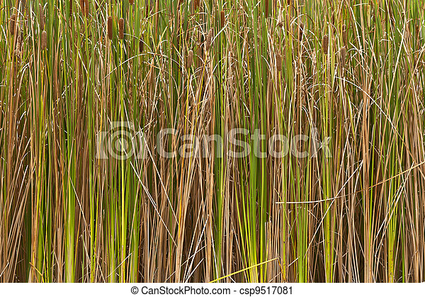 Cattail grass that once the waterfront is the weeds. - csp9517081