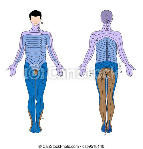 Dermatome, eps10 - csp9518140