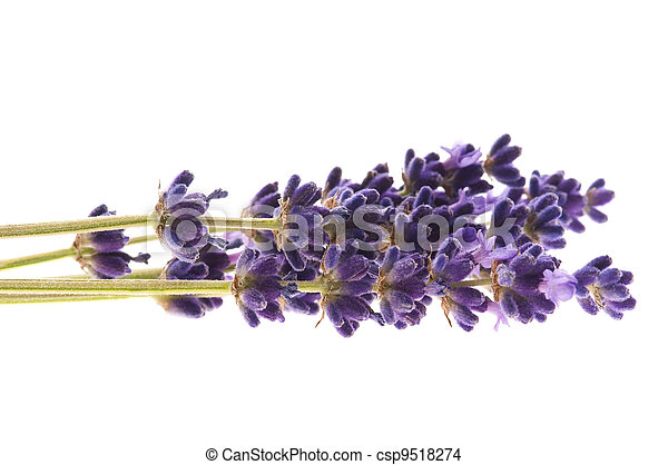 Lavender flowers on the white background - csp9518274
