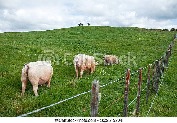 Free range pigs in pasture - csp9519204