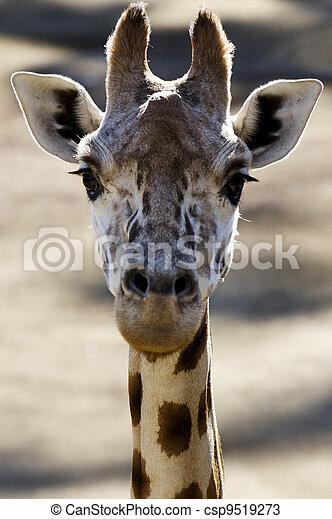 tiere, Tierwelt,  Giraffe,  - - csp9519273