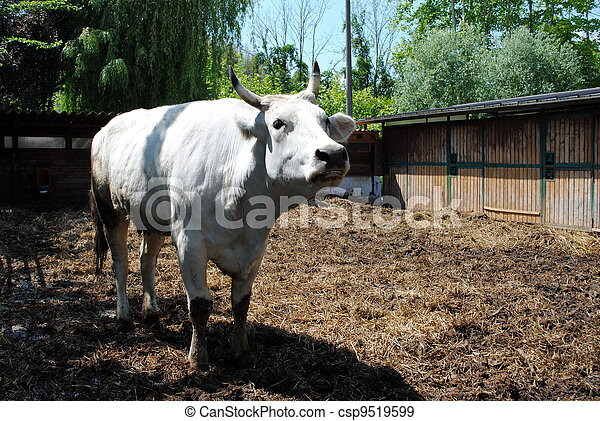 white cow in a cowshed, concept of captivity - csp9519599