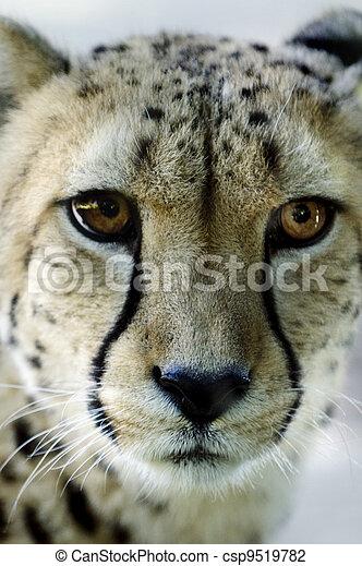 tiere, tierwelt, -, gepard - csp9519782