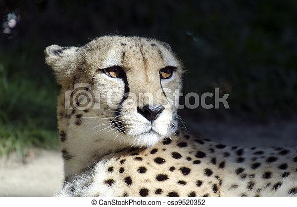 tiere, Tierwelt,  -, Gepard - csp9520352