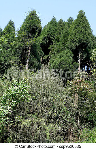 Conifers on hilltop - csp9520535