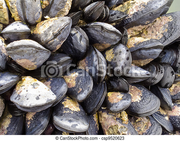 Exposed mussels on a rock at low tide - csp9520623
