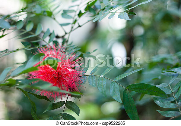 Closeup of the Red Powderpuff or the Blood Red Tassel flower (Calliandra haematocephala) - csp9522285
