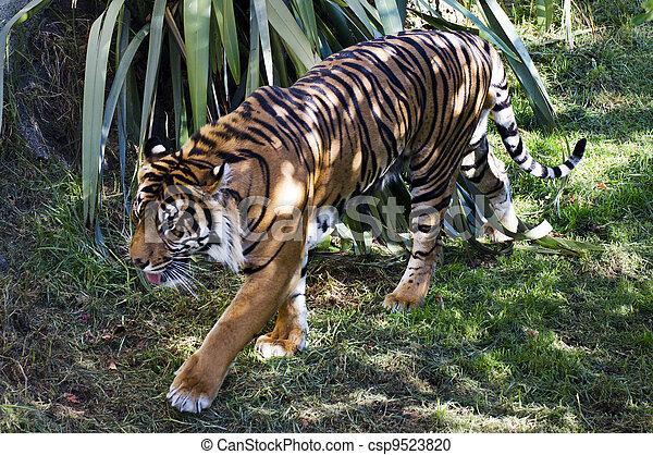tiger, állatok, kicsapongó élet, - - csp9523820