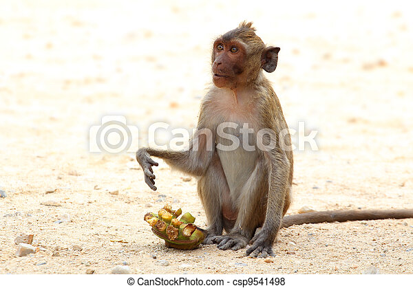 """The crab-eating macaque is a cercopithecine primate native to Southeast Asia. It is also called the """"long-tailed macaque"""", and is referred to as the """"cynomolgus monkey"""" in laboratories. - csp9541498"""