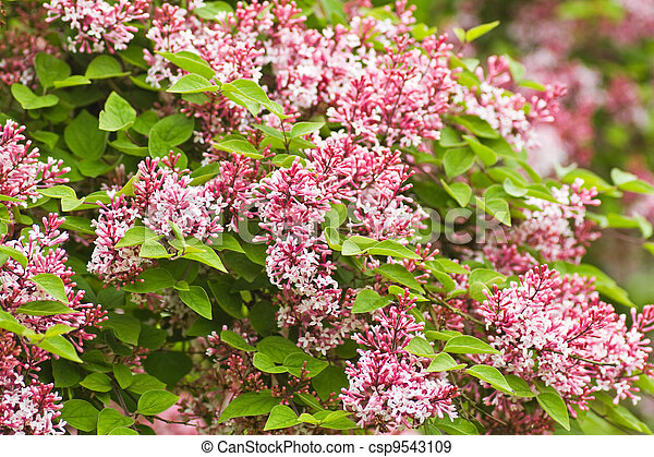 Tiny fragrant pink Syringa microphylla flowers - csp9543109