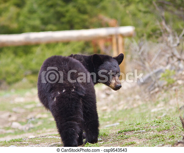 Black Bear - csp9543543